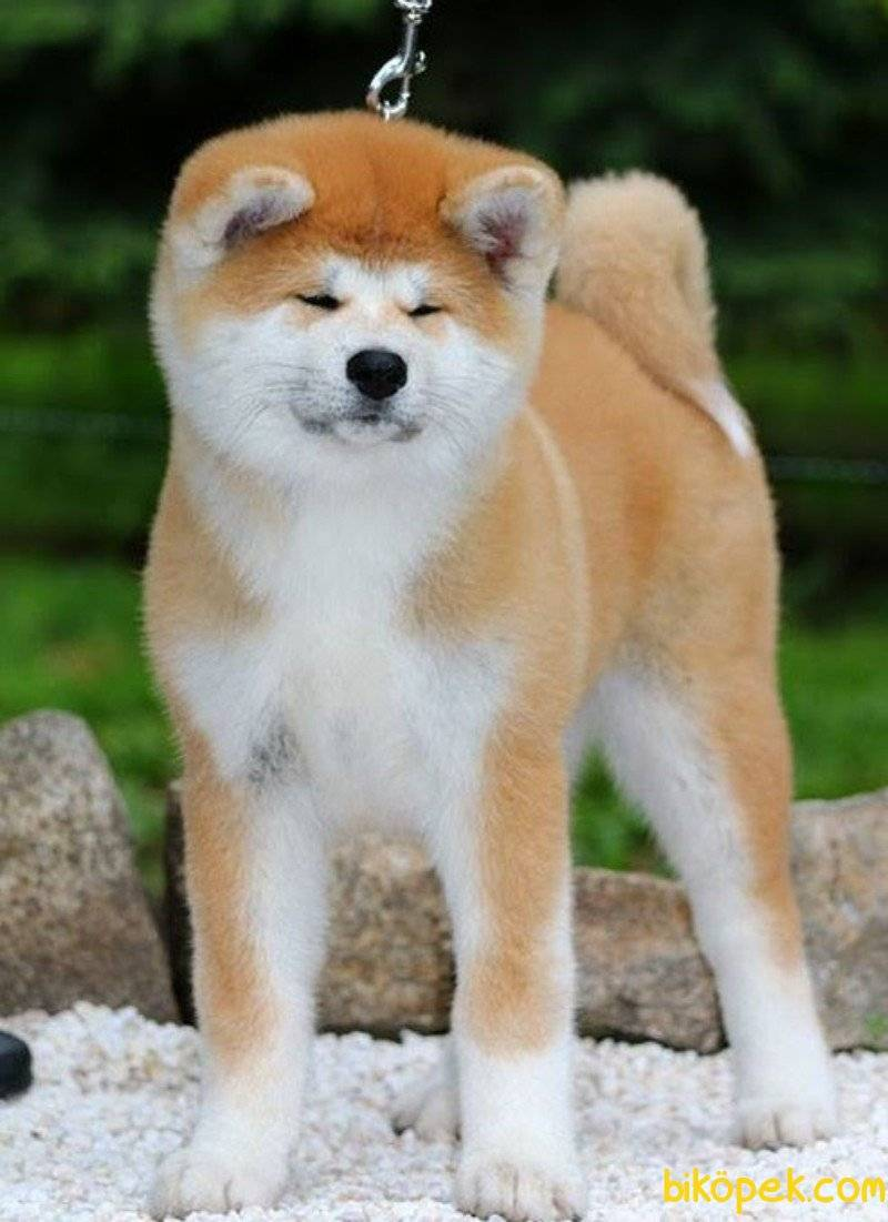 Акита-ину ? фото, описание, характер, факты, плюсы, минусы собаки ✔