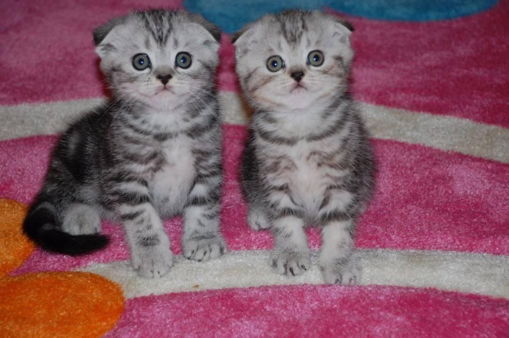 Какой породы котенок из рекламы вискас для котят