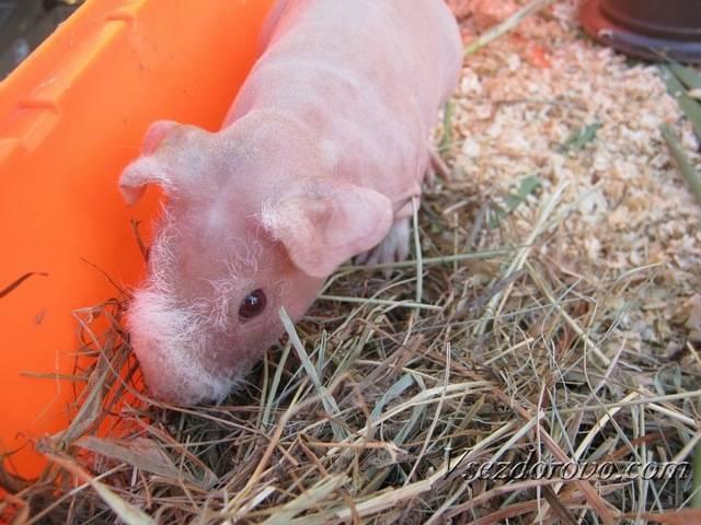 Все о морских свинках: советы для начинающих