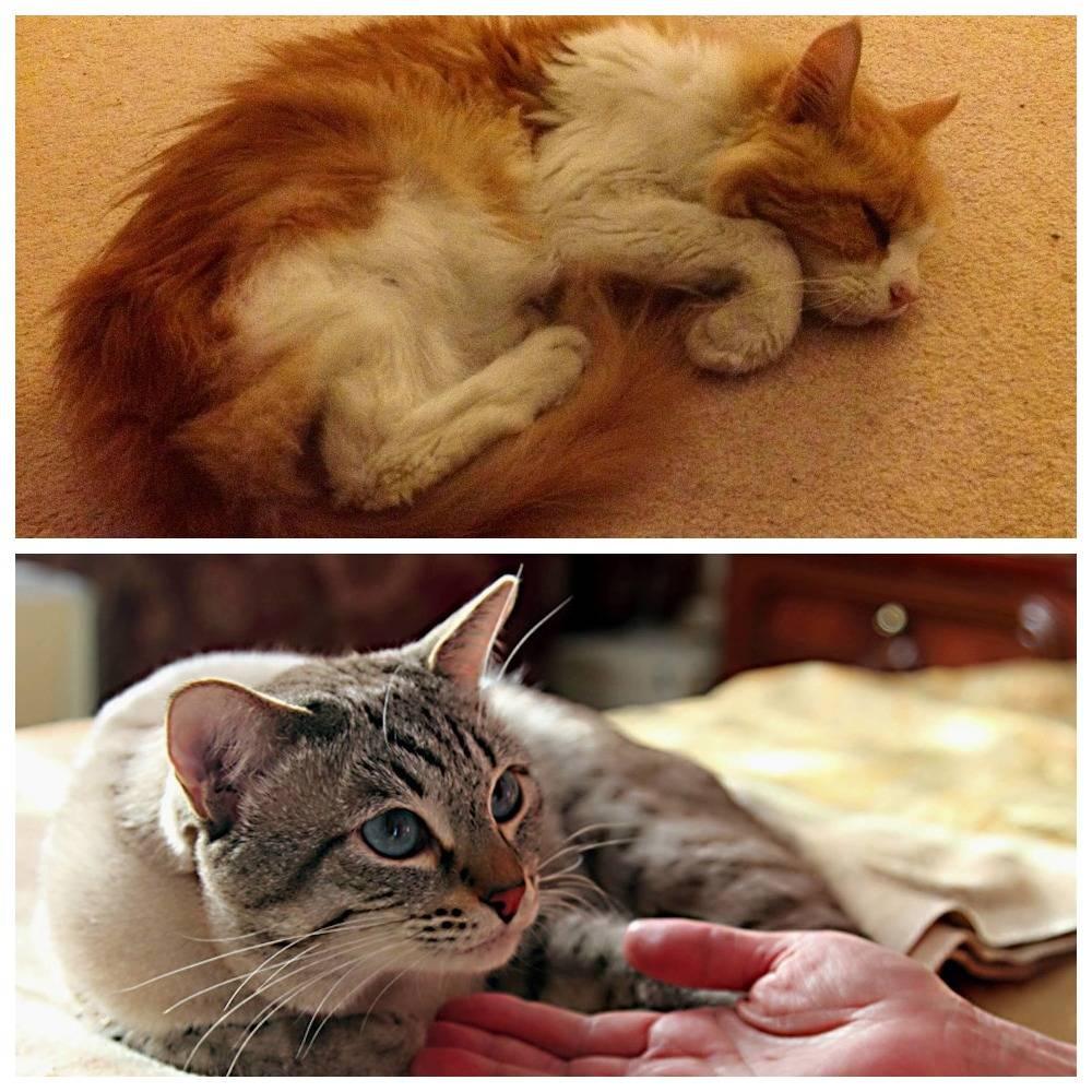 Панкреатит кошек и собак. острый панкреатит собак и кошек (симптомы и лечение)
