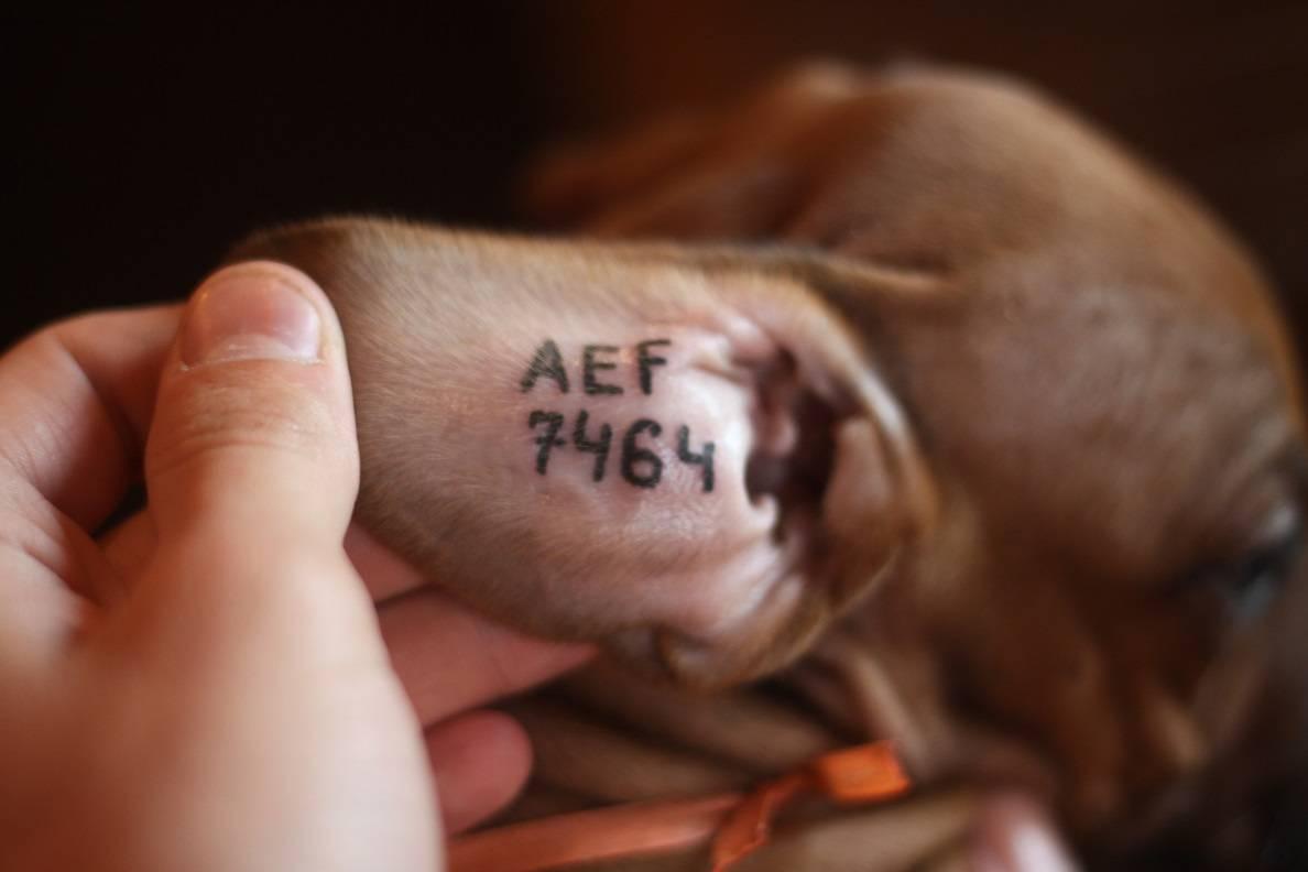 Клеймение собак: для чего нужно, как делают, как проверить