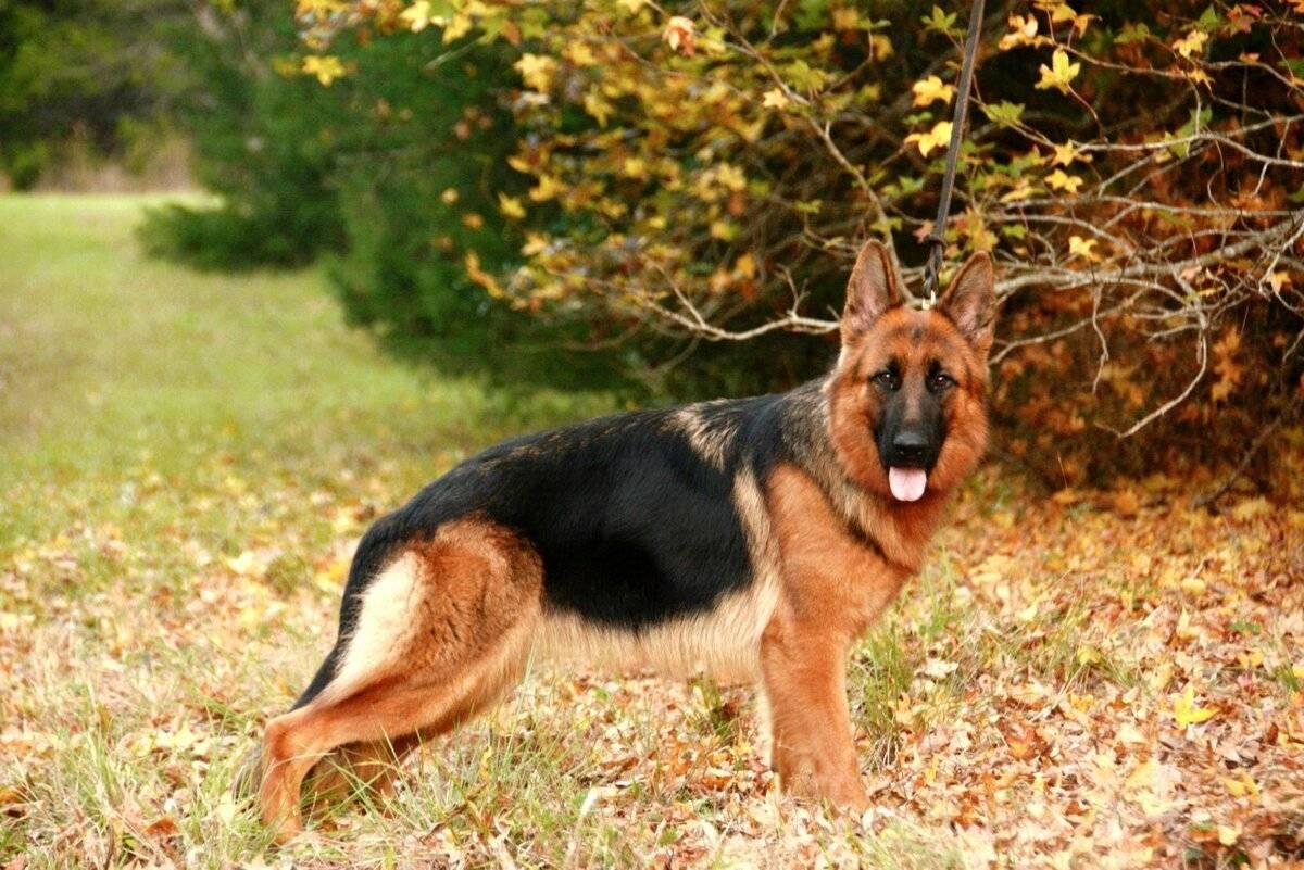Как определить щенка немецкой овчарки: отличия чистокровок от помеси