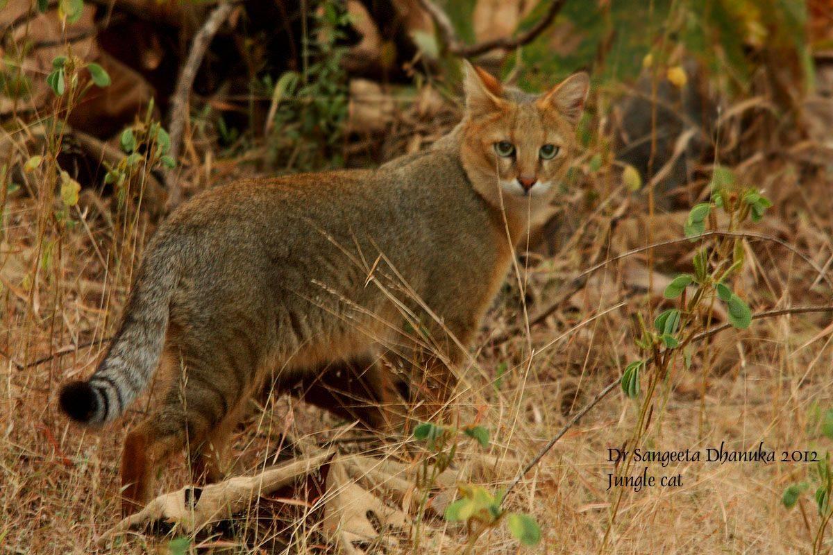 Камышовый кот – любимый питомец или опасный хищник? - кот, кошачьи, камышовый кот, чауси, хауси
