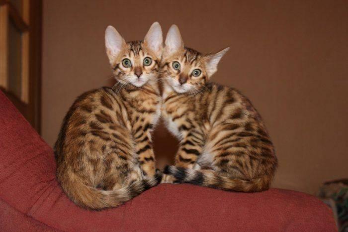 Кот с огромными ушами порода - наши домашние друзья