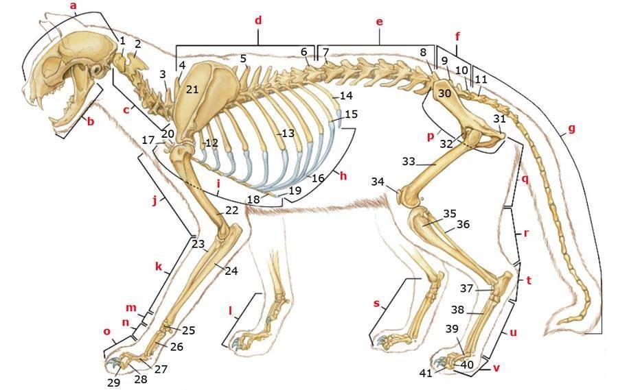 Строение собаки в картинках | скелета, глаза, уха, когтя, носа, зубов