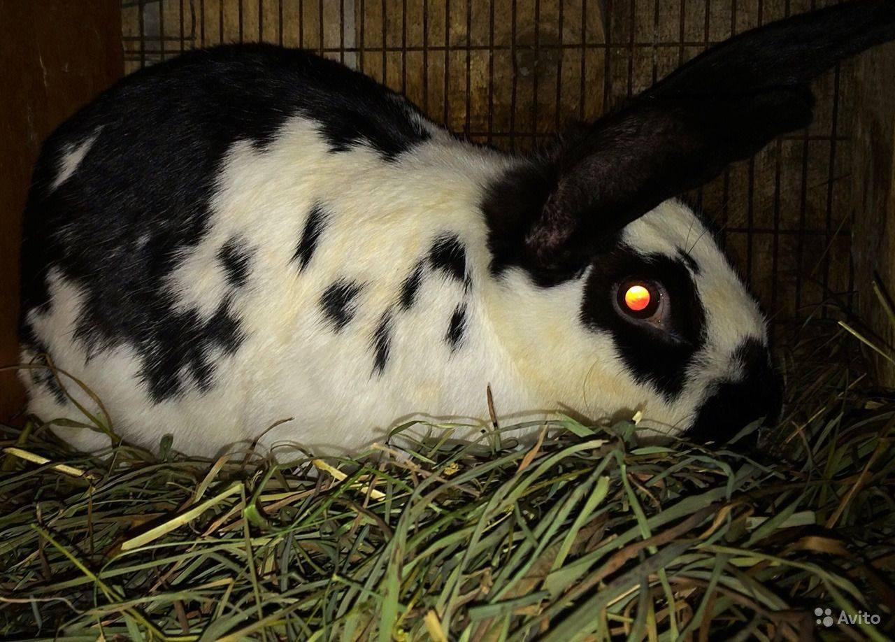 Кролик «бабочка»: описание породы, руководство по содержанию и разведению
