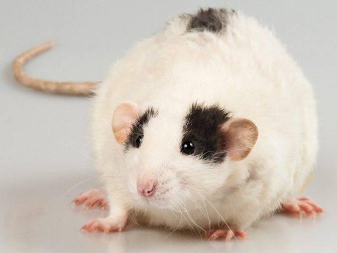 Виды и породы домашних декоративных крыс