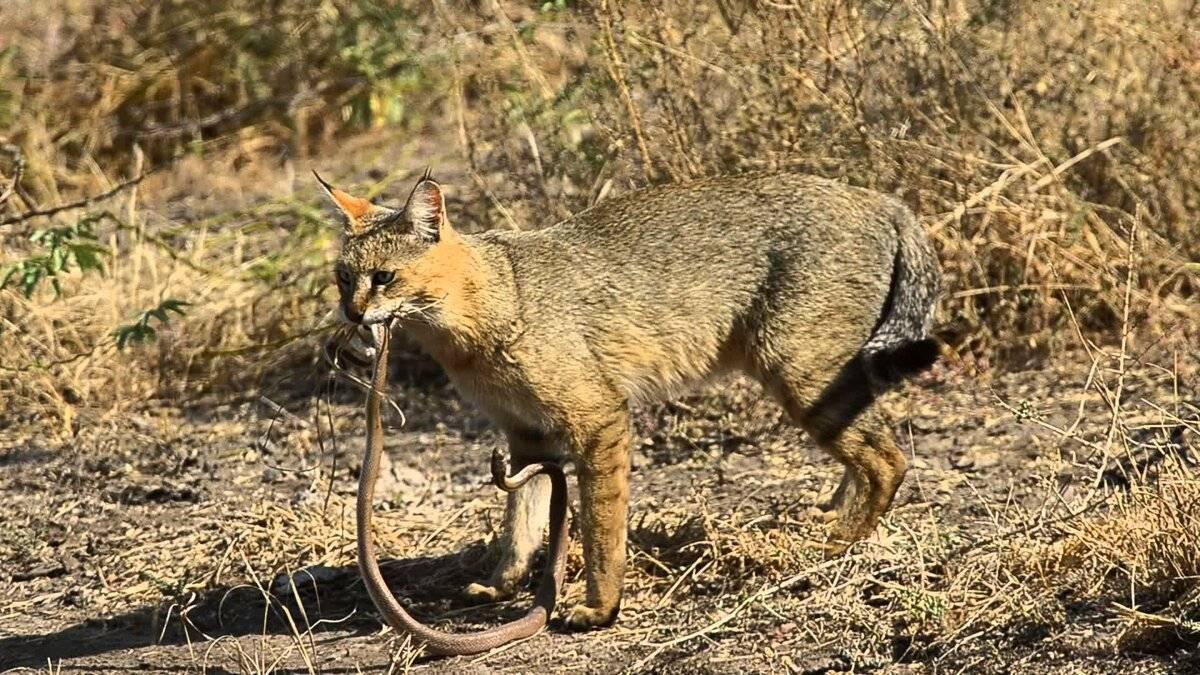Камышовый кот: хищник или домашний питомец?