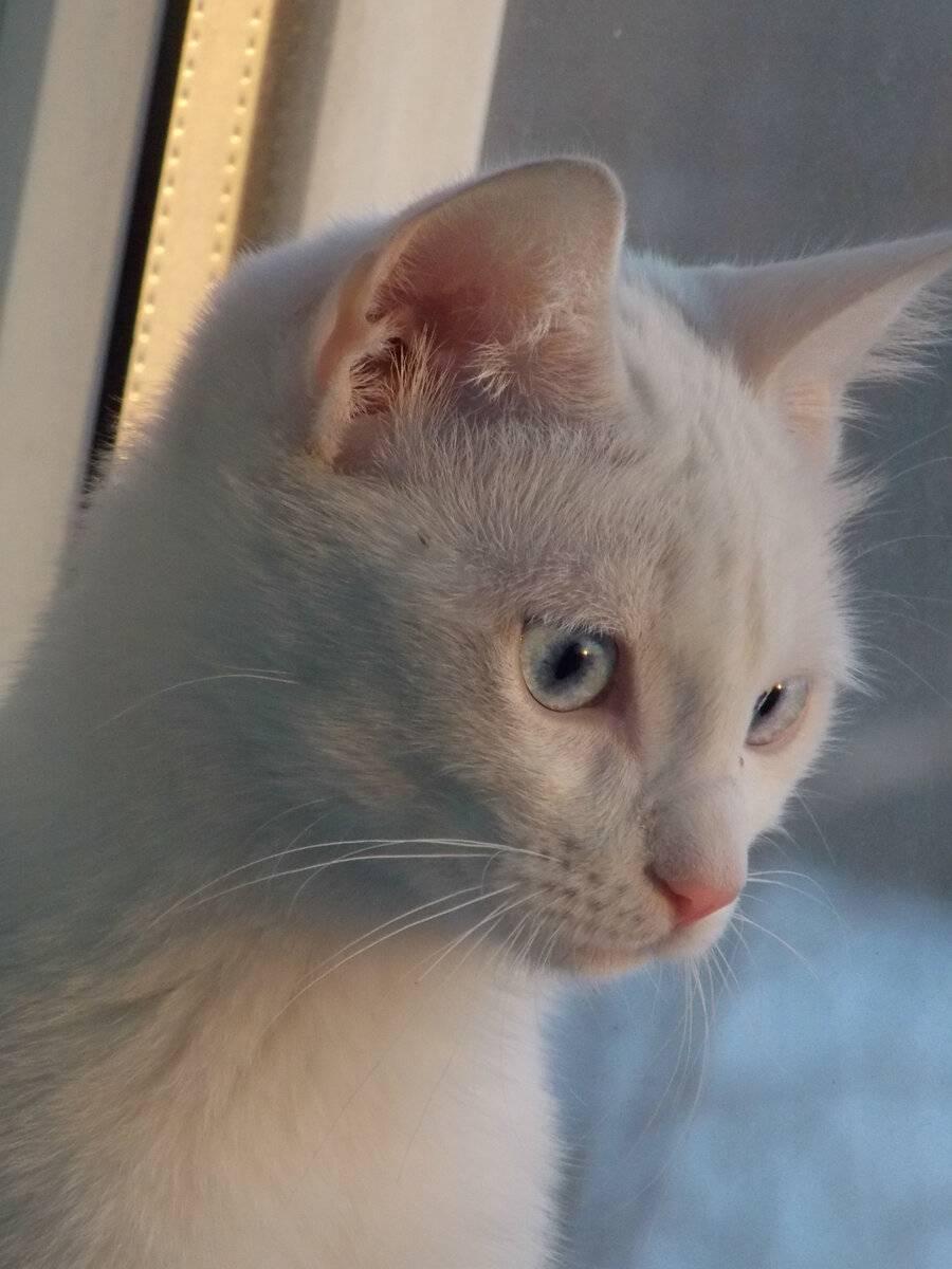 Глухота у кошек, белые кошки глухие или нет, что делать