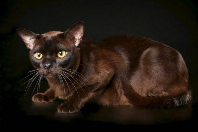 Бурманская кошка: описание внешнего вида породы и характера, фото бурмы, выбор котенка, отзывы владельцев европейского кота