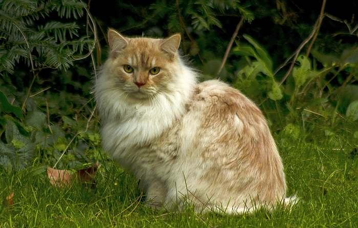 Рагамаффин: описание породы, характер кошки, советы по содержанию и уходу, фото