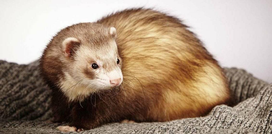 Хорьки (77 фото): кто это такие? как выглядят животные и где живут? размеры, плюсы и минусы. отзывы владельцев