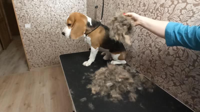 Как правильно делать экспресс линьку для собаки самостоятельно дома