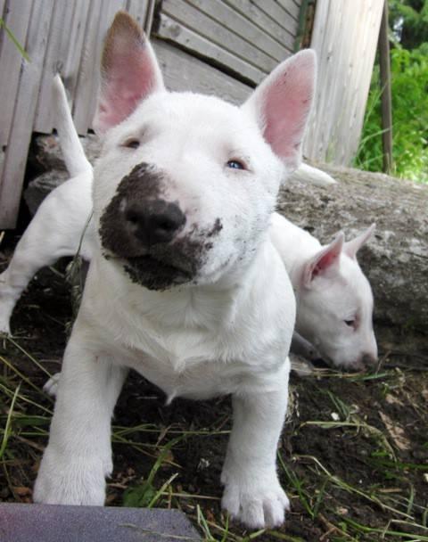 Миниатюрный бультерьер собака. описание, особенности, уход и цена миниатюрного бультерьера
