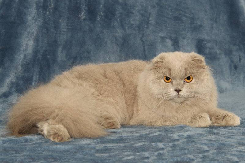 Скоттиш-страйт: 45 фото, цена котенка, окрасы и характер шотландской прямоухой кошки