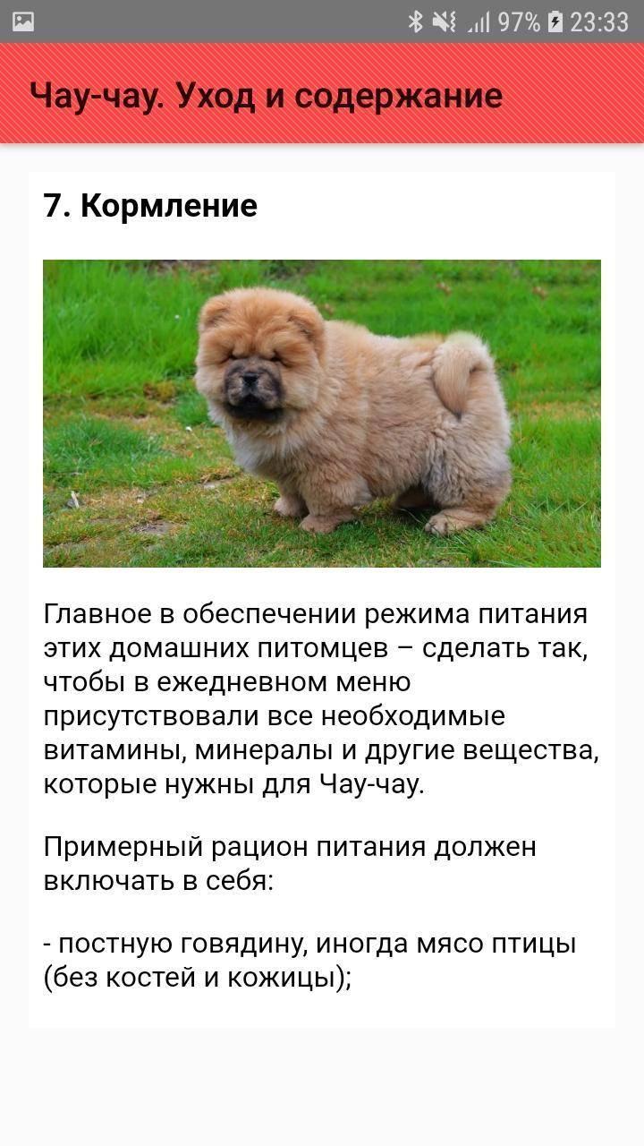 Чау-чау собака: порода собак, фото, описание внешнего вида, характера, размер, окрас, цена щенка
