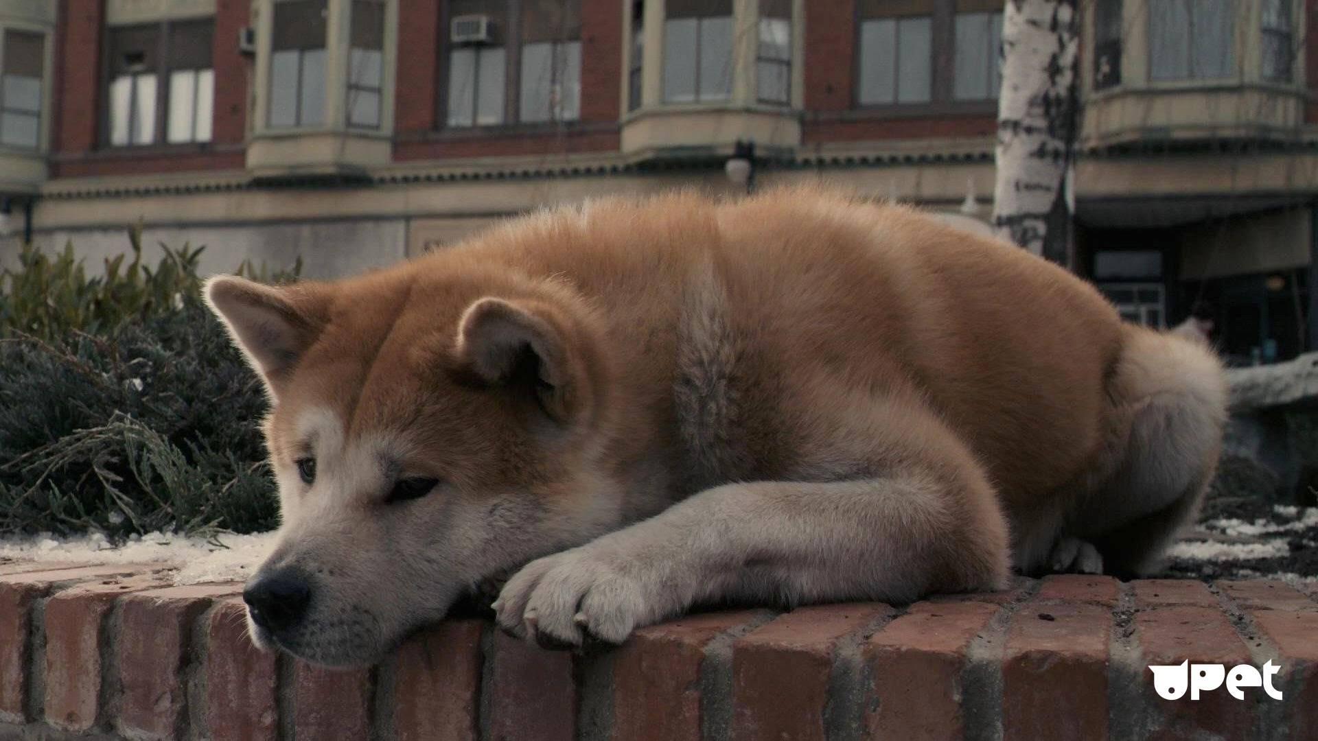 Хатико — порода собаки акита-ину (фото): отличный компаньон и своенравный друг