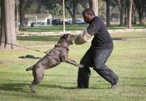 Профессиональная дрессировка и воспитание собак породы кане-корсо