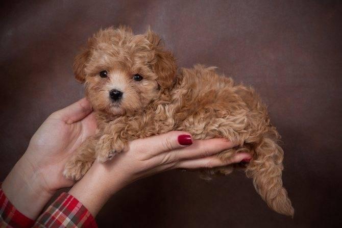 Мальтипу порода собак. описание, особенности, цена и уход за мальтипу   животный мир