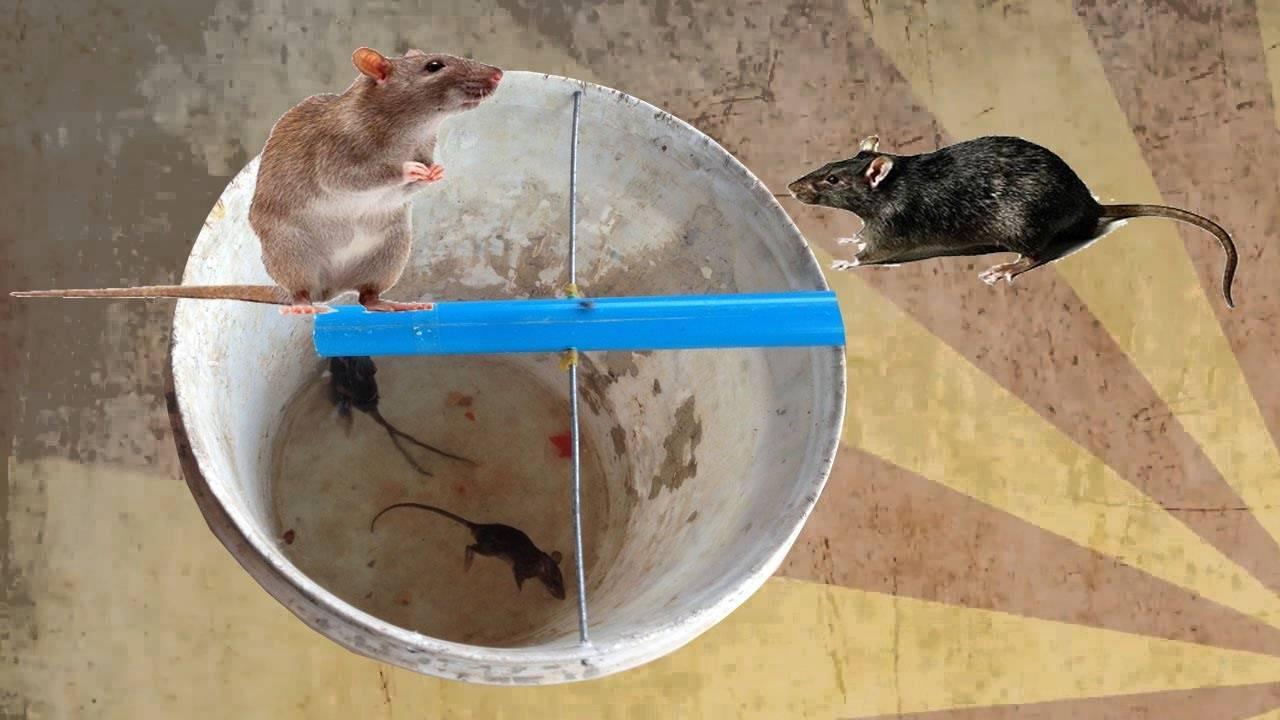 Собаки-крысоловы — 90 фото основных пород, особенности обучения и дрессуры крысоловов
