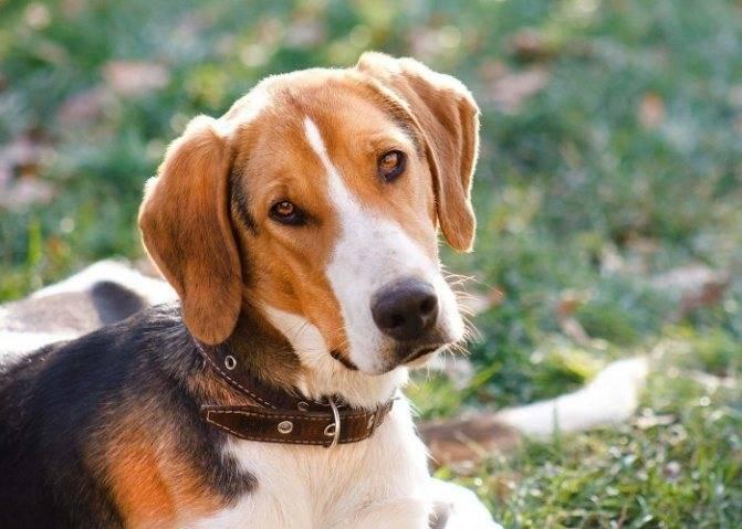 Клички для охотничьих собак: имена щенков мальчиков и девочек для охоты.