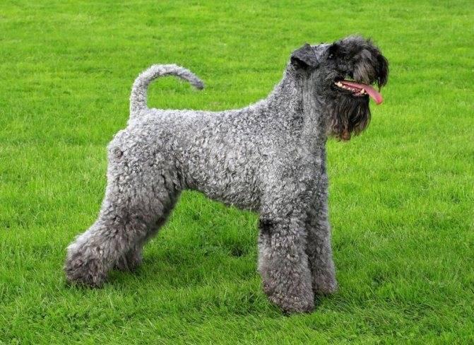 Керри блю терьер: описание породы собак