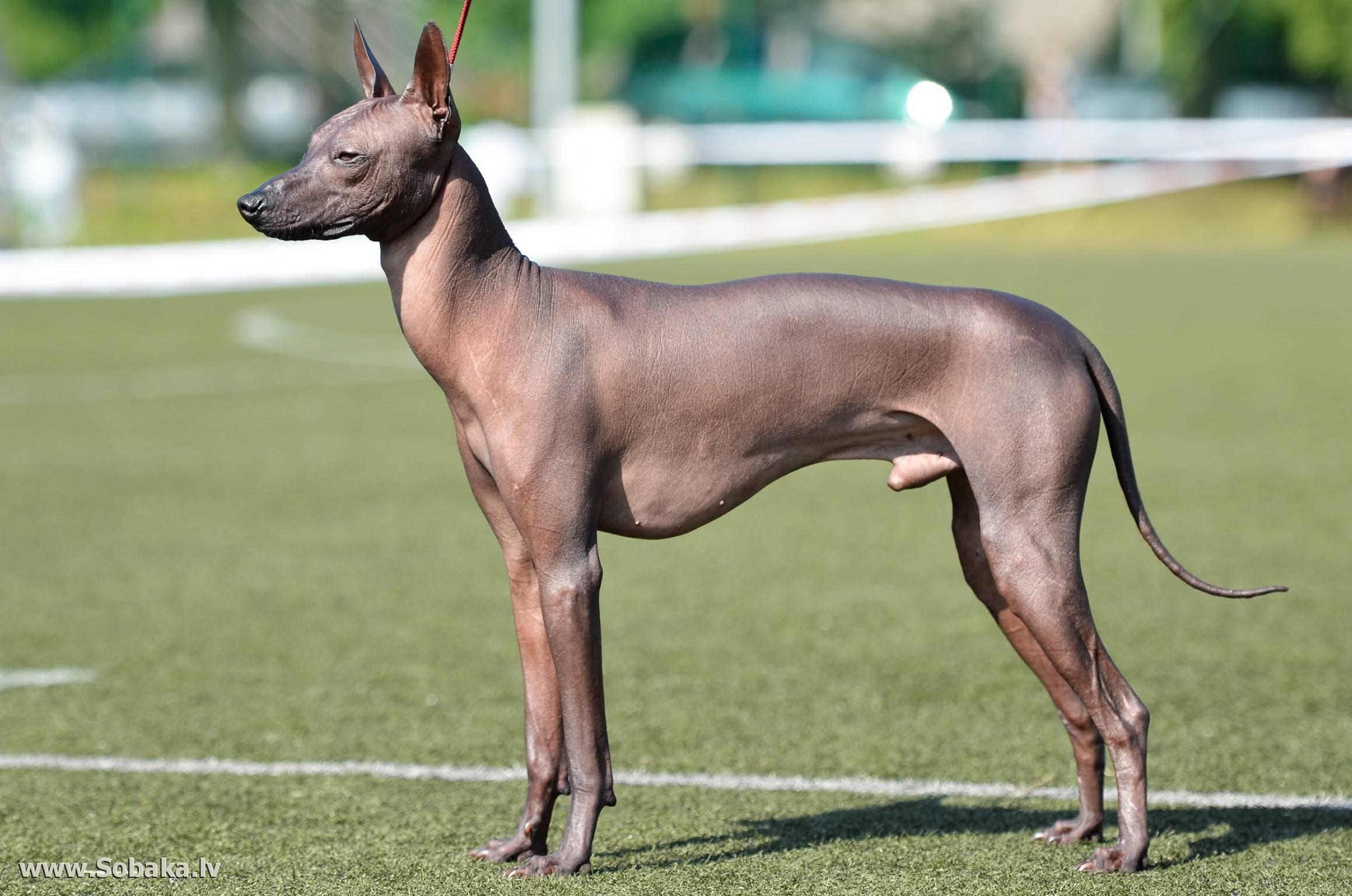 Лысая собака с хохолком: описание породы, особенности содержания, фото