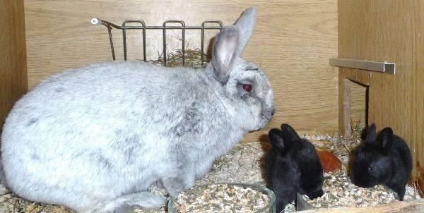 Чем и как кормить беременную крольчиху в домашних условиях?