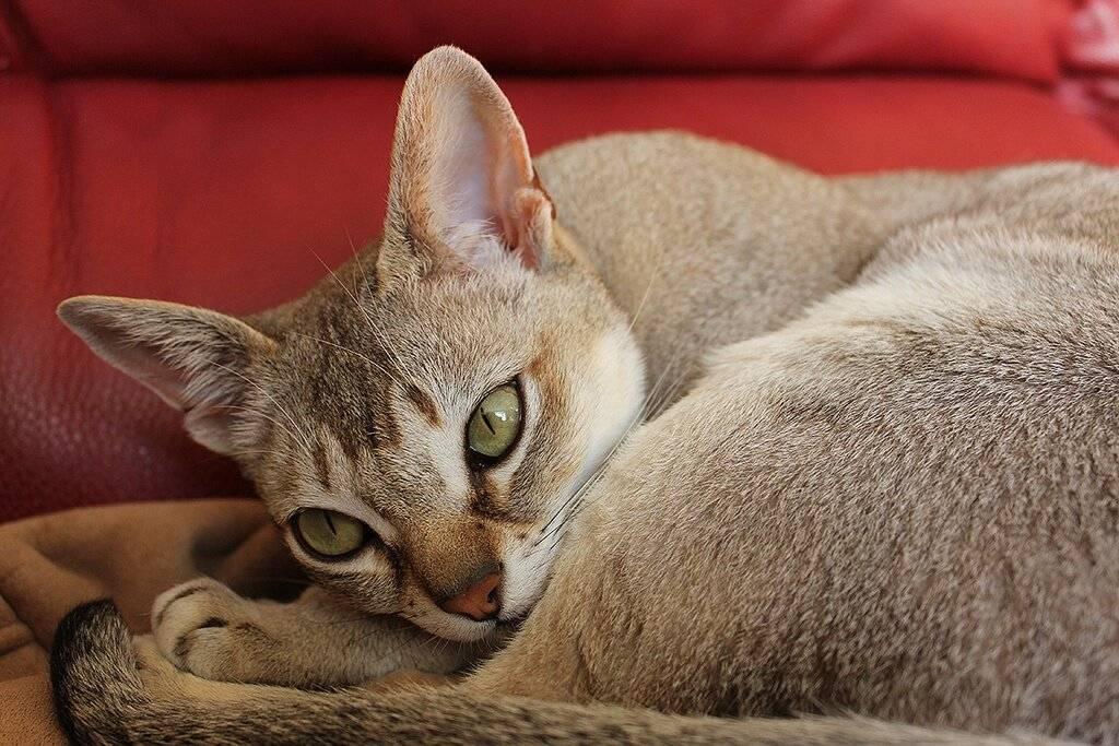 Описание породы сингапурских кошек, особенности вида, уход и содержание