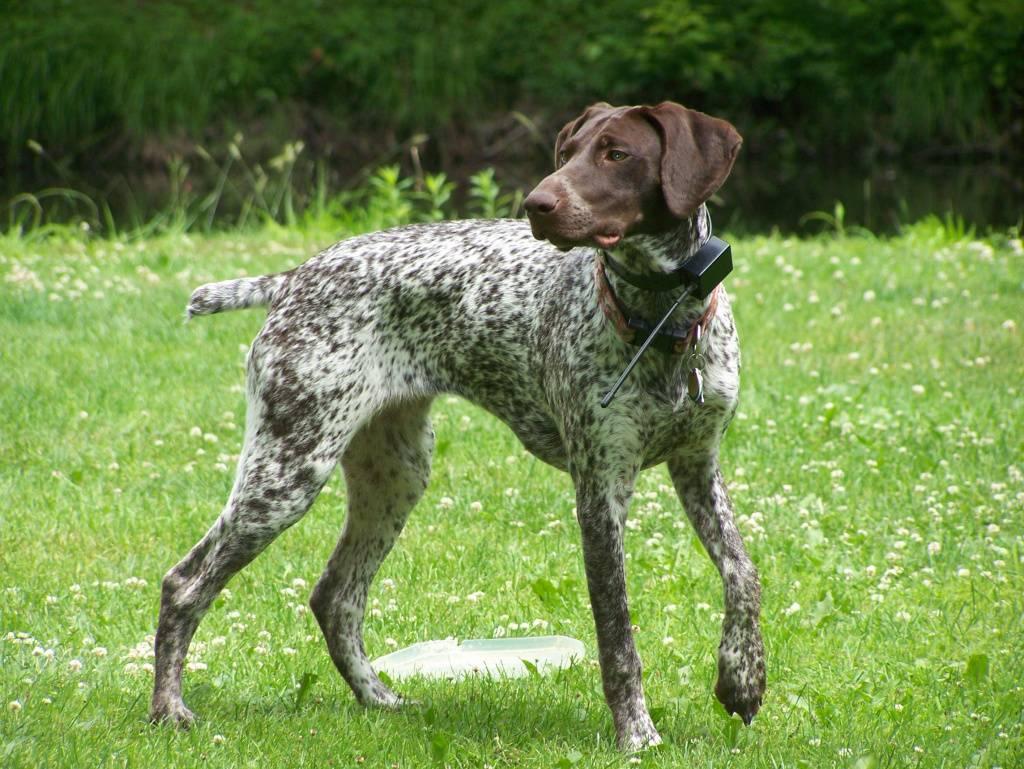 Английские легавые. о породе собак: описание породы английские легавые, цены, фото, уход