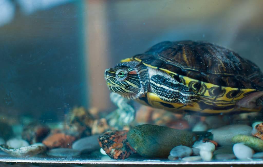 Сколько живут красноухие черепахи в аквариуме