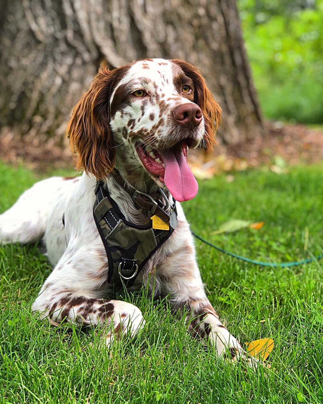 Собака ирландский сеттер: описание породы, золотистый красавец, охотник с мягким характером