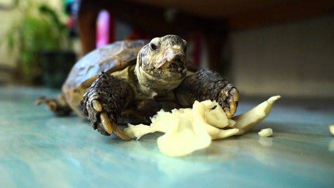 Чем кормить красноухую черепаху. составляем рацион