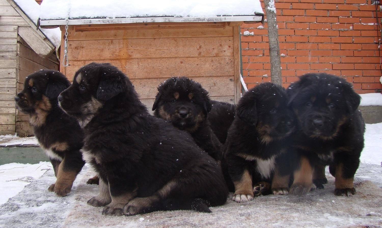 ᐉ монгольская овчарка банхар описание породы - zoomanji.ru
