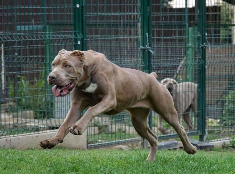 Характеристика собак породы американский бандог с отзывами и фото