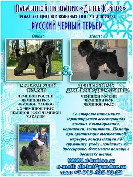 Чёрный терьер — универсальная собака, верный защитник и лучший друг