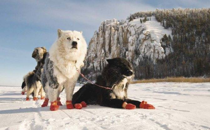 Лайка собака: описание породы, разновидность, фото, характеристика