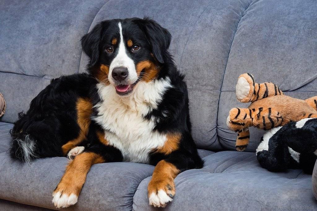 Разбираемся с породами собак. бернский зенненхунд.