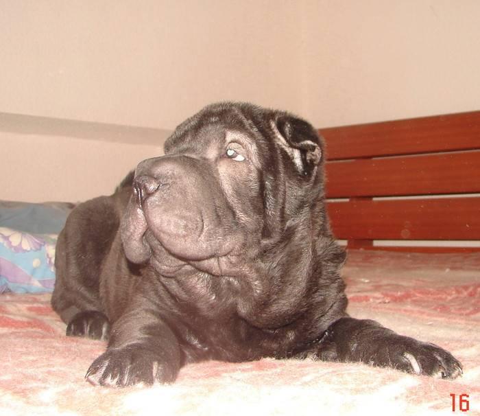 Шарпей — порода собаки