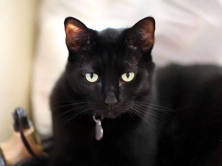 Популярные породы чёрного кота, характер и содержание питомцев
