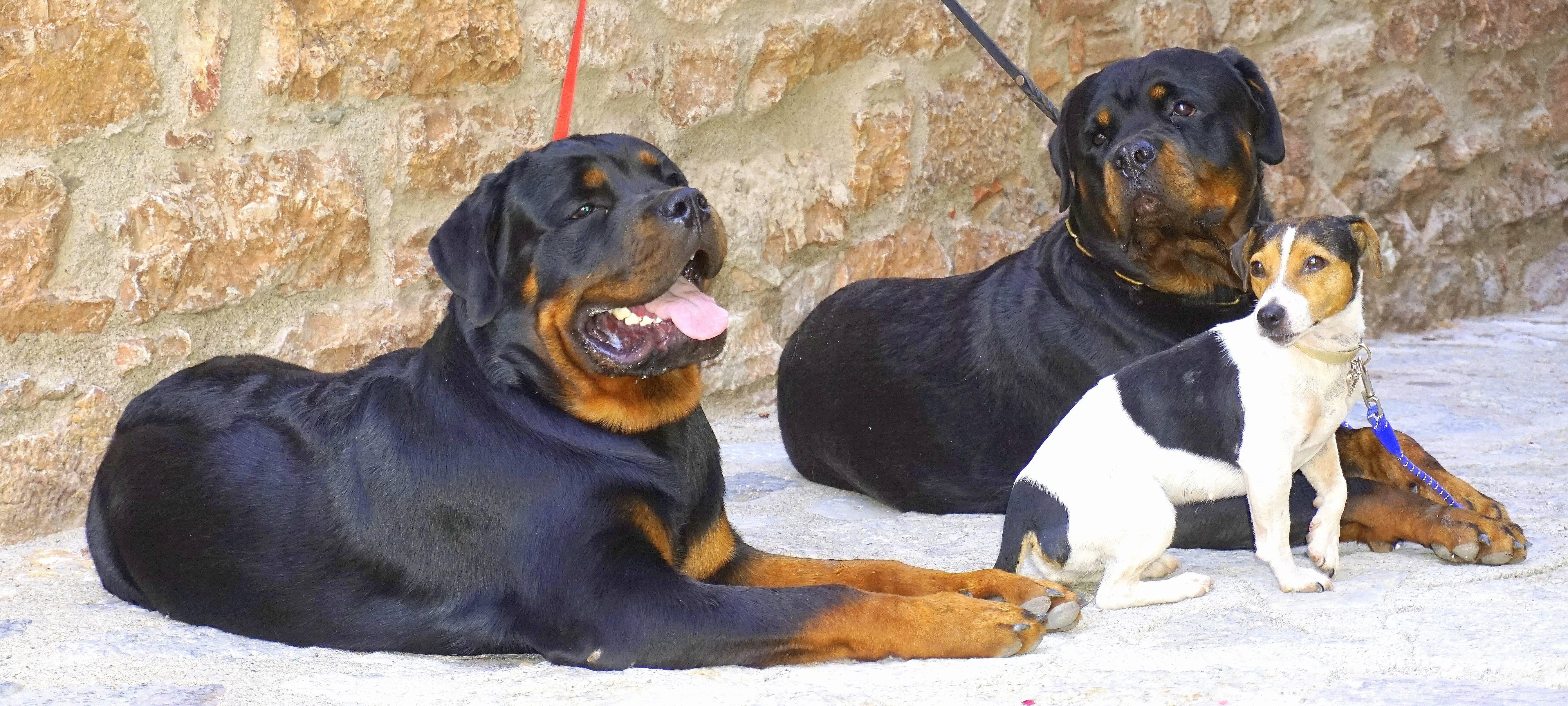 "Ротвейлер – ""собака мясника"""