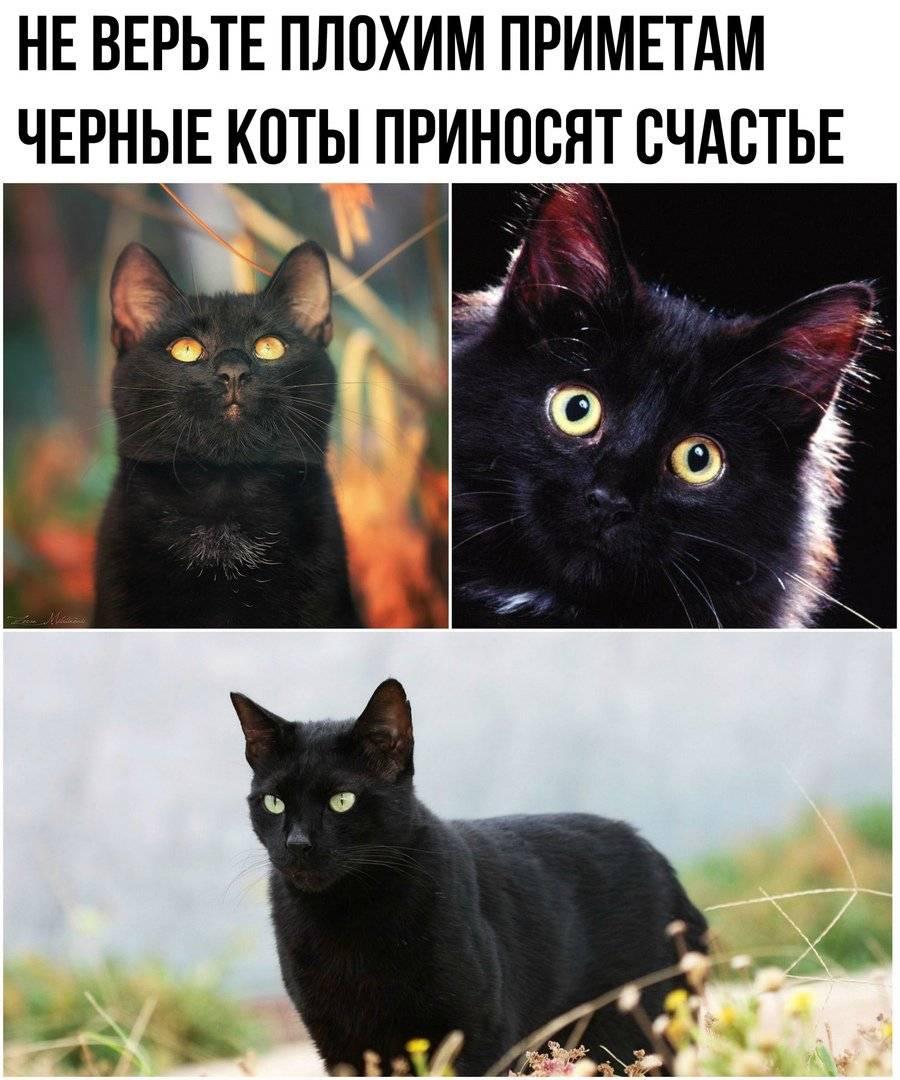 Черный кот – приметы и суеверия