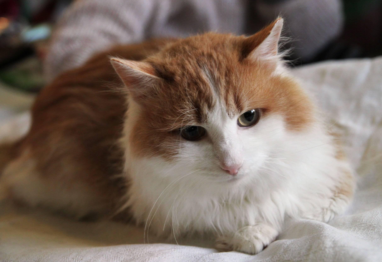 Британская длинношерстная кошка: описание породы и характера