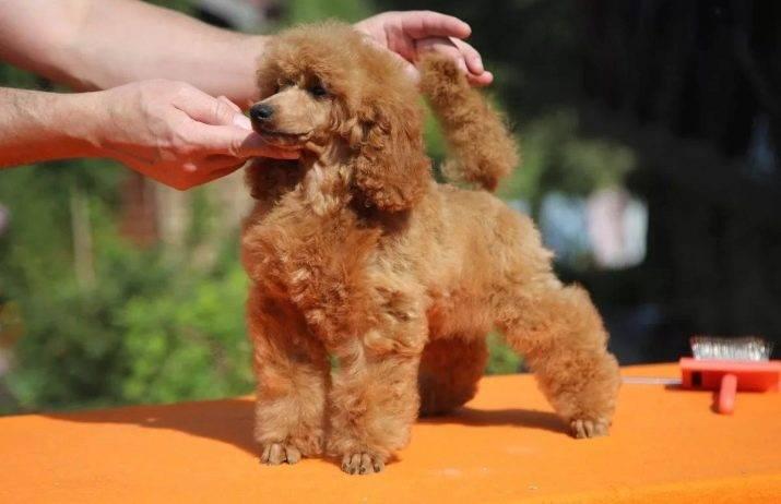 Карликовый пудель: описание породы и характеристика, цена щенков в питомниках