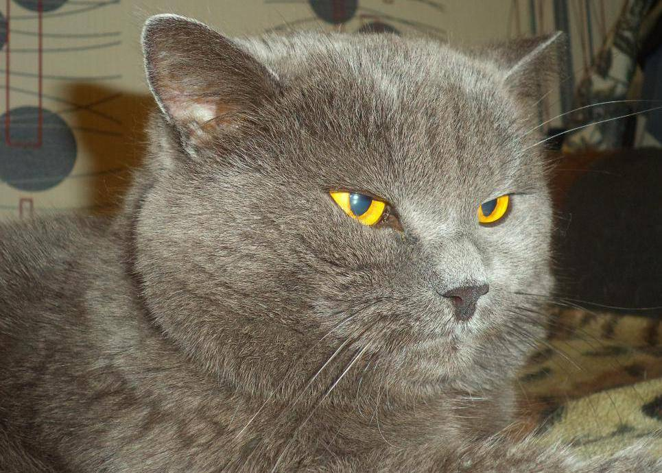 Окрасы британских кошек с фото и описанием