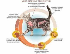 Симптоматика гипертиреоза у кошки: эффективные способы лечения болезни