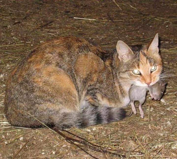 Все ли коты ловят мышей; как узнать, какие кошки лучше всех для ловли — породы кошек, ловящих мышей; что если кот не только охотник на мышей, но и ловит крыс?