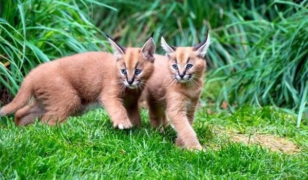 Первозданная красота: породы кошек, похожих на рысь