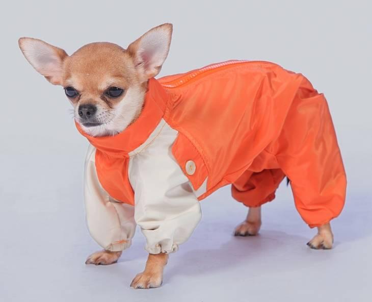 Правила содержания и тонкости ухода за собакой породы чихуахуа