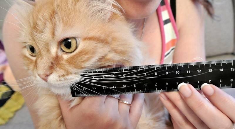 Можно ли коту и кошке стричь усы
